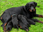 Dulcie and Pups