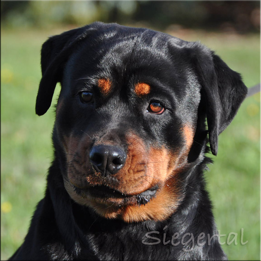 rottweiler dogs for sale - 900×900